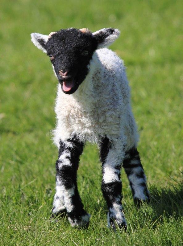 Lamb, Yorkshire Dales