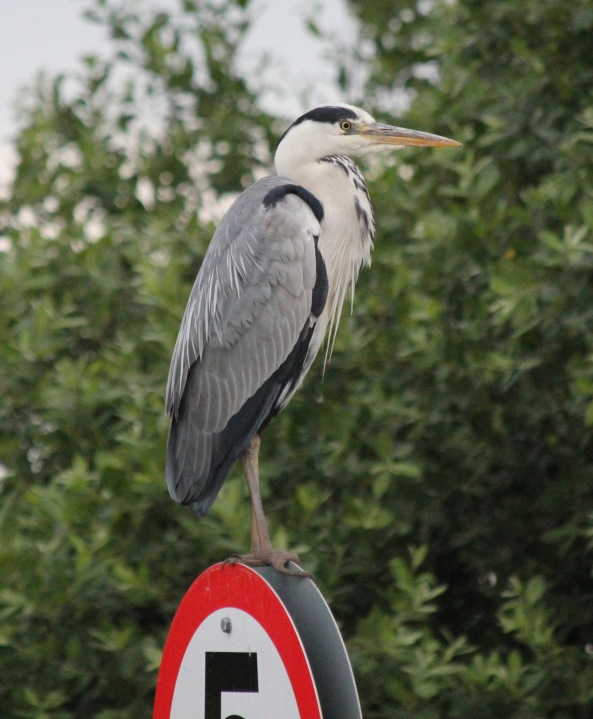 Heron, Norfolk Broads