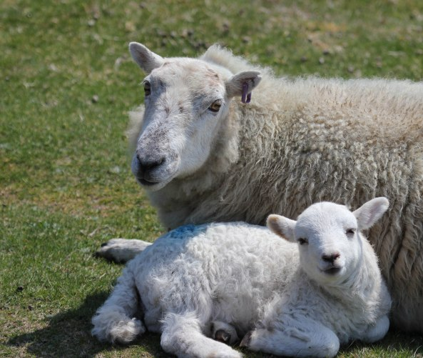 Sheep, Lamb, North Wales