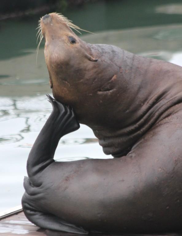 Seal, Pier 39, San Francisco
