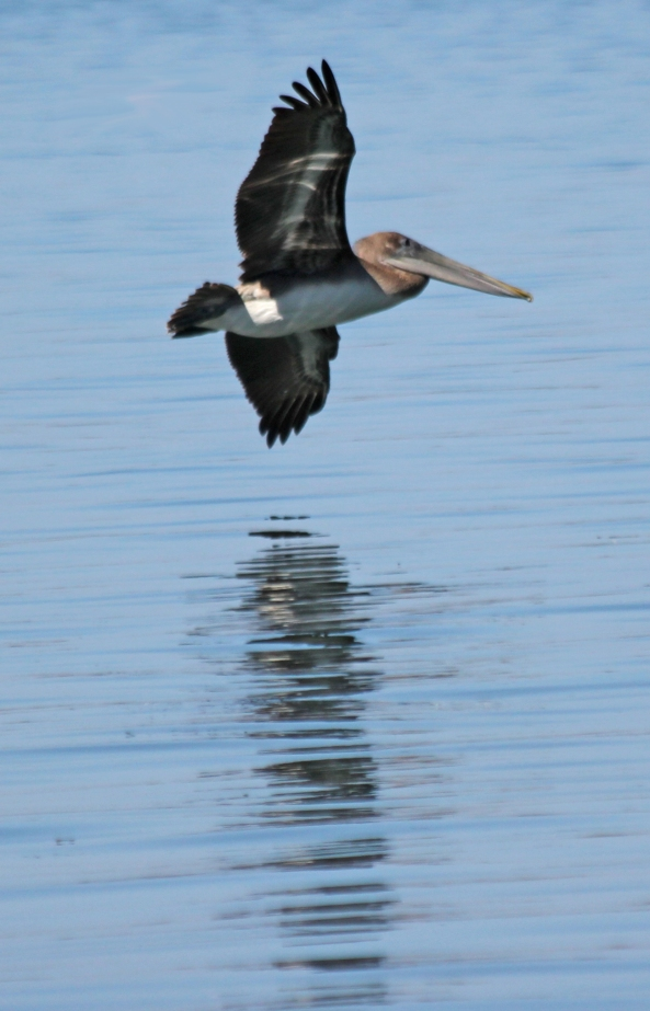 Pelican, Flight