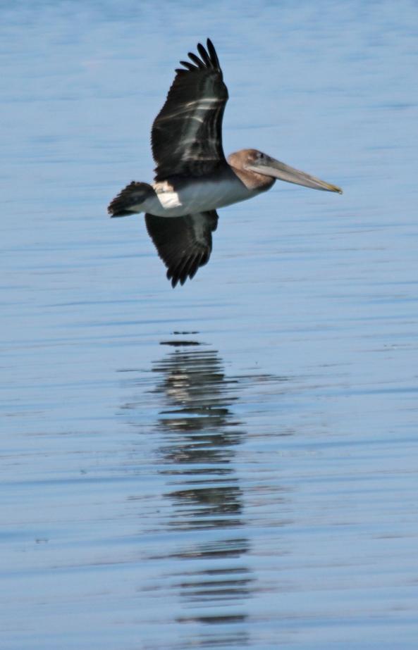 Pelican, Flight