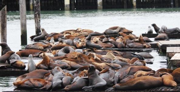 Sea Lion, San Francisco