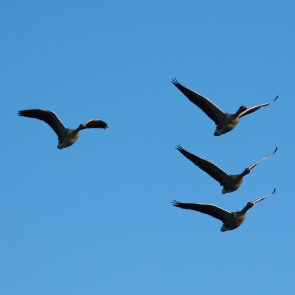 Greylag Goose, Wildlife, Nature Photography, Birds