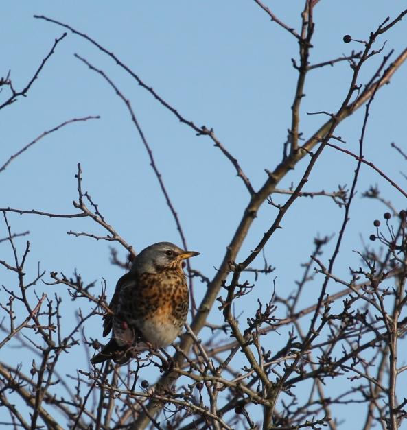 Fieldfare, Photography, Wildlife, East Yorkshire