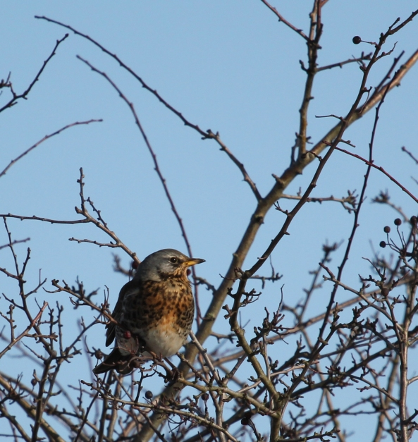 Fieldfare, Photography, Wildlife, East Yorkshire