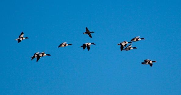 Shelduck, Mallard, Birds, Photography, Wildlife, Birds
