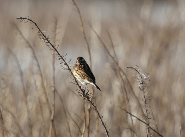Reed Bunting, East Yorkshire, Wildlife Photography, Nature, Birds