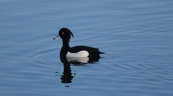 Tufted Duck, Photography