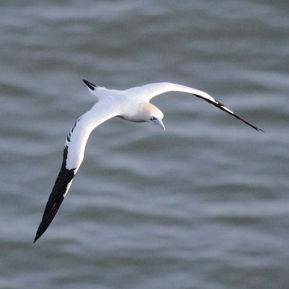 Gannet, Bempton Cliffs, East Yorkshire, Wildlife Photography, Nature, Birds