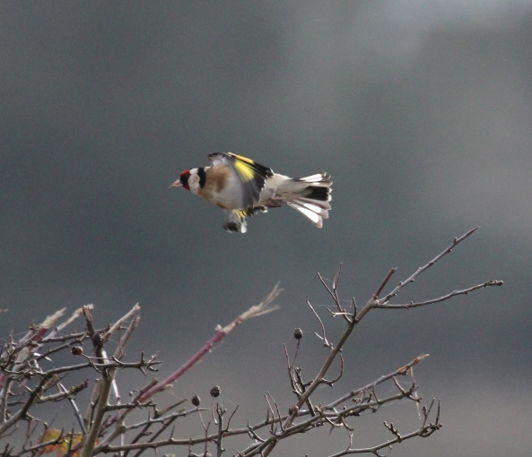 Goldfinch, East Yorkshire, Nature, Wildlife, Photography