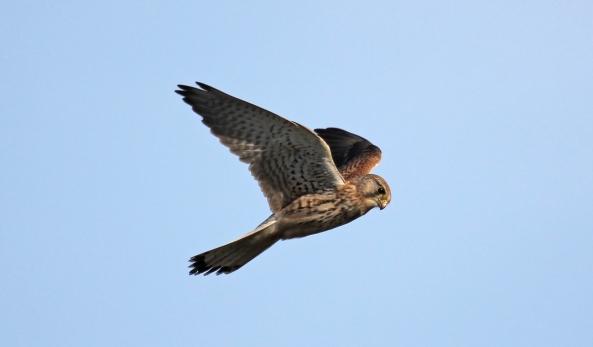 Kestrel, East Yorkshire, Newbald, Nature, Wildlife Photography