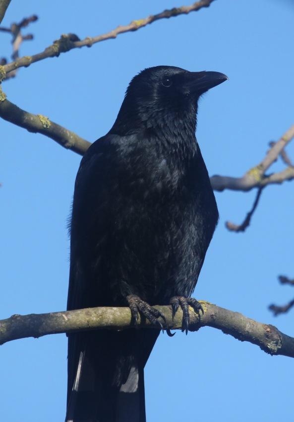 Crow, Photography, Nature, Wildlife