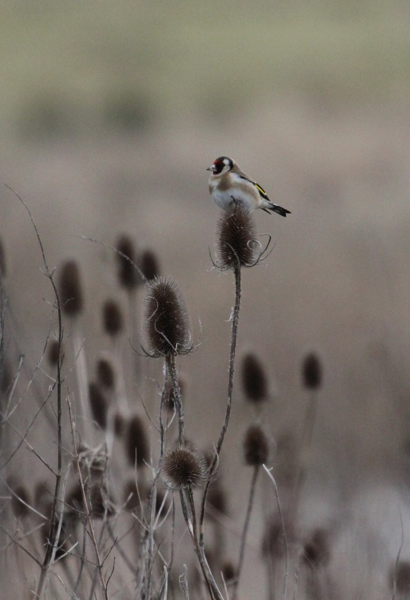 Goldfinch, East Yorkshire