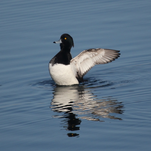 Tufted Duck, Nature, Phototography, Wildlife