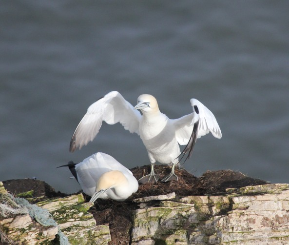 Gannets, East Yorkshire, Bempton Cliffs, Wildlife Photography