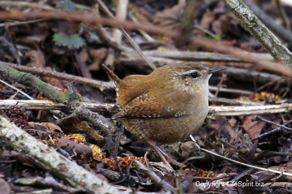 Wren, Nature, Wildlife Photography, Mark Conway