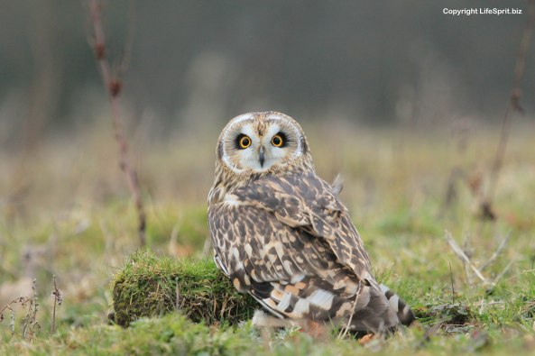 short-eared owl, photography, nature, mark conway,