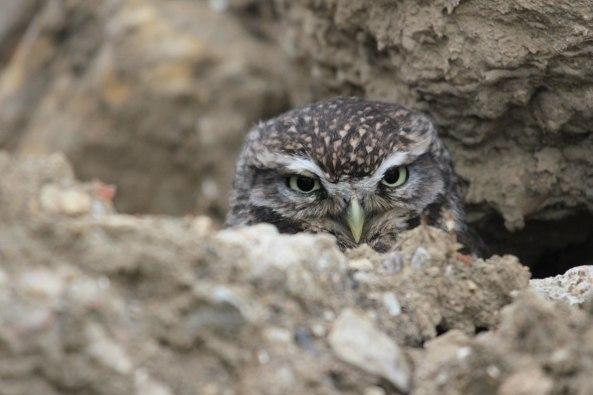 Little Owl, Nature, Wildlide Photography, Birds of Prey