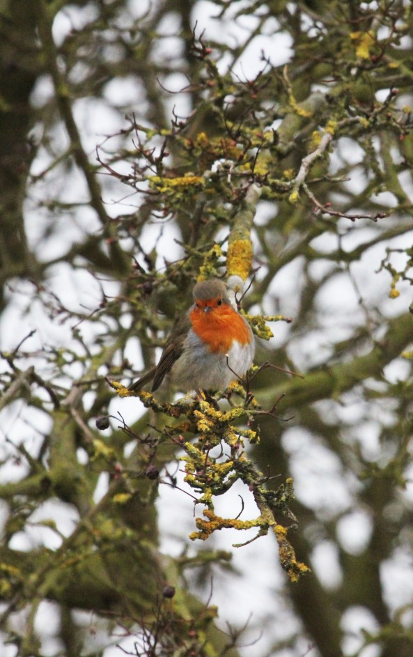 Robin, East Yorkshire, Nature, Wildlife Photography, East Yorkshire