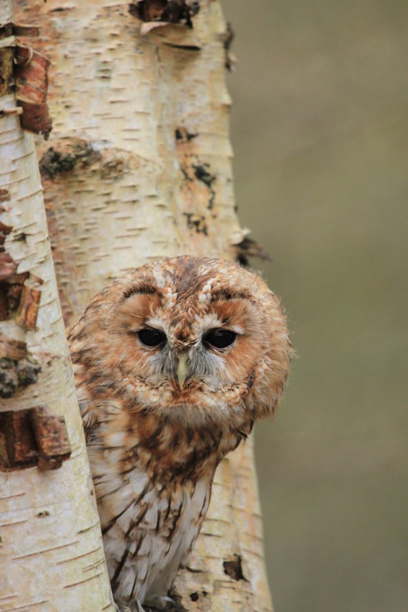 Tawny Owl, Birds of Prey, Wildlife Photography, Mark Conway