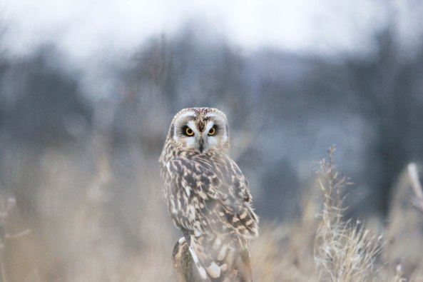Short-eared Owl, Bird of Prey, Wildlife, Nature, Photography