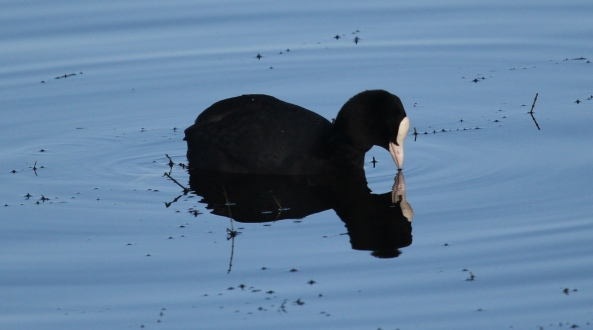 Coot, East Yorkshire, Wildlife Photography, Nature, Ducks