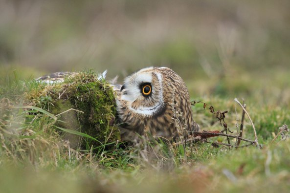 Short-eared Owl, Nature, Wildlife Photography, Birds, Birds of Prey