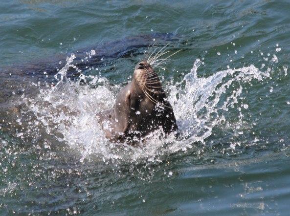 Sea Lion, Monterey, California