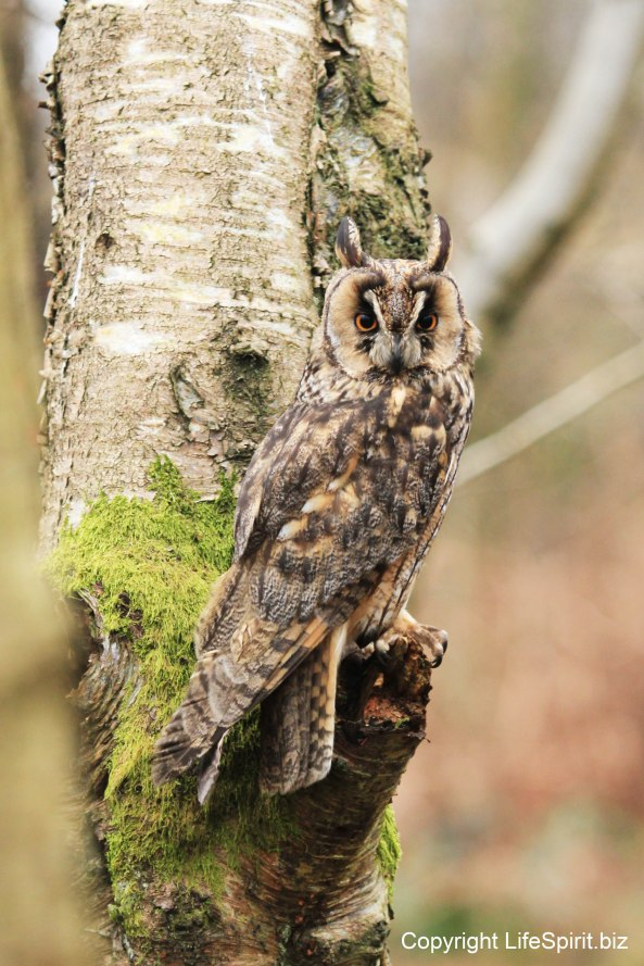 Long-eared Owl, Mark Conway, Life Spirit, Wildlife Photography