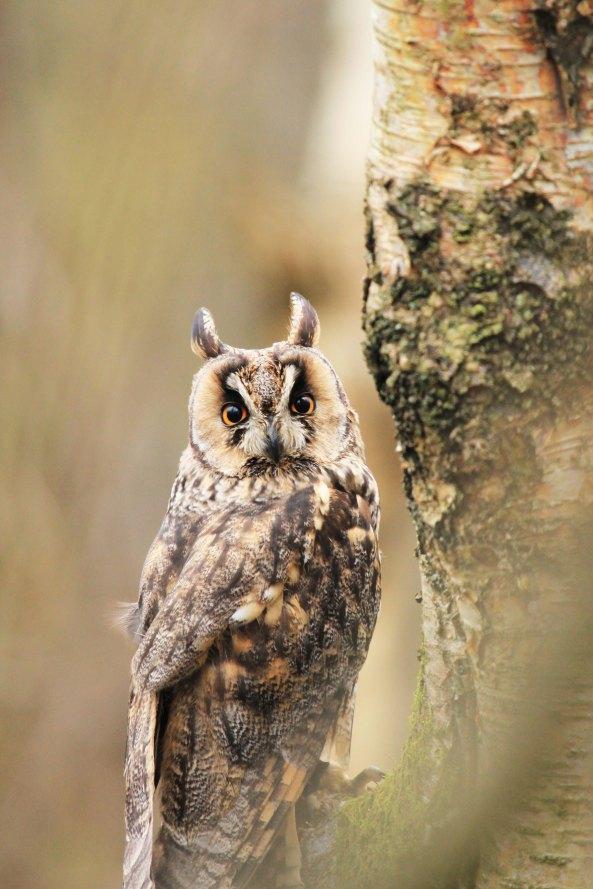 Long-eared Owl, Nature, Birds, Bird of Prey