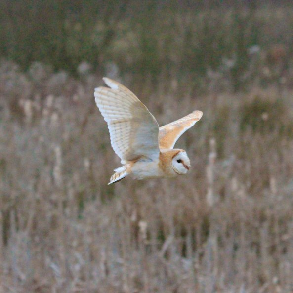 Barn Owl, Nature, Wildlife Photography, Mark Conway, Birds of Prey