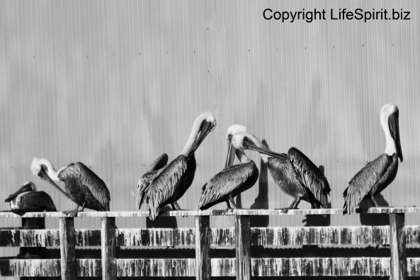 Pelicans, Monterey, California, Nature, Mark Conway, Wildlife Photography
