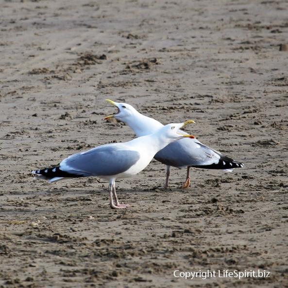Herring Gull, Beach, Nature, Wildlife Photography, Mark Conway, Life Spirit