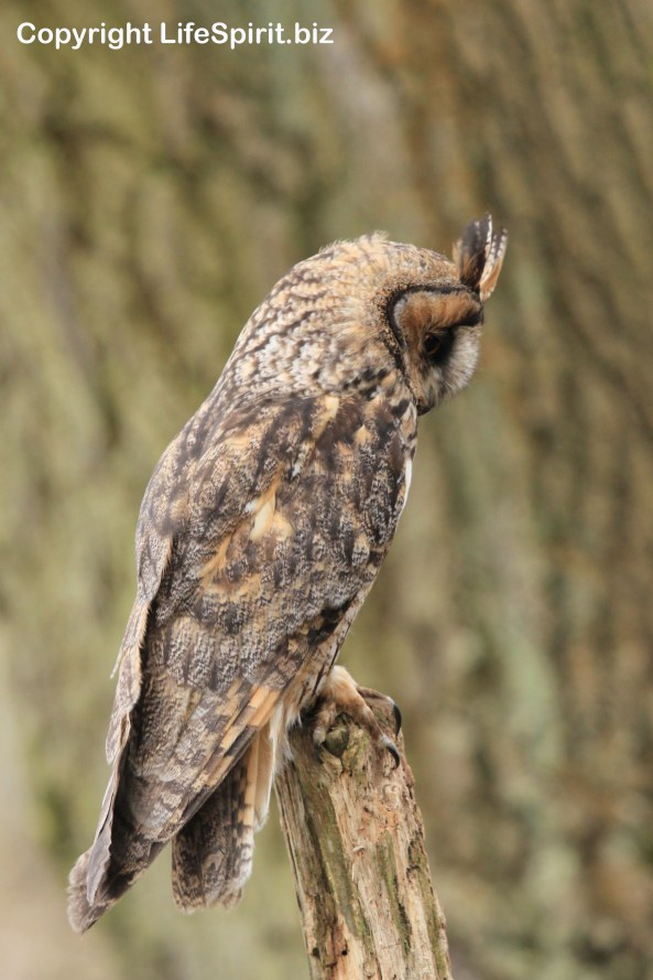 Long-eared Owl, Nature, Wildlife Photography, Mark Conway, Life Spirit