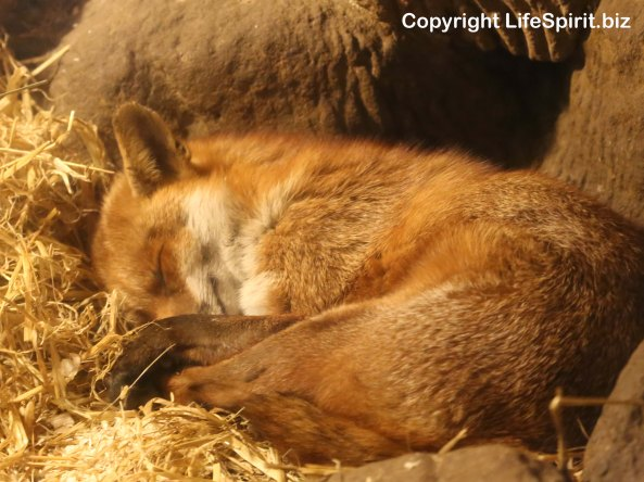 Fox, Nature, Wildlife, Mark Conway, Life Spirit