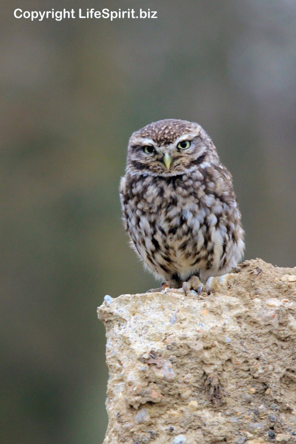 Little Owl, Life Spirit, Mark Conway, Nature, Wildlife Photography