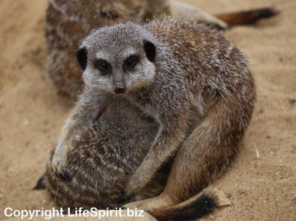 Meerkat, Wildlife, Life Spirt, Mark Conway, Nature