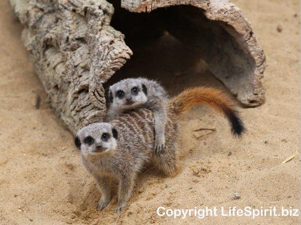 Meerkat, Mark Conway, Life Spirit