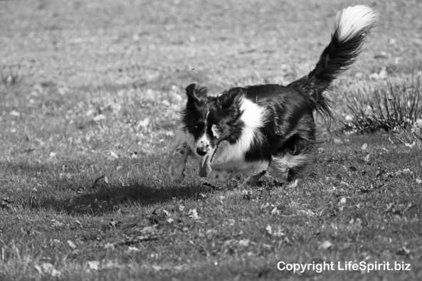 Collie, Black & White, Mark Conway, Life Spirit, Nature, Dogs