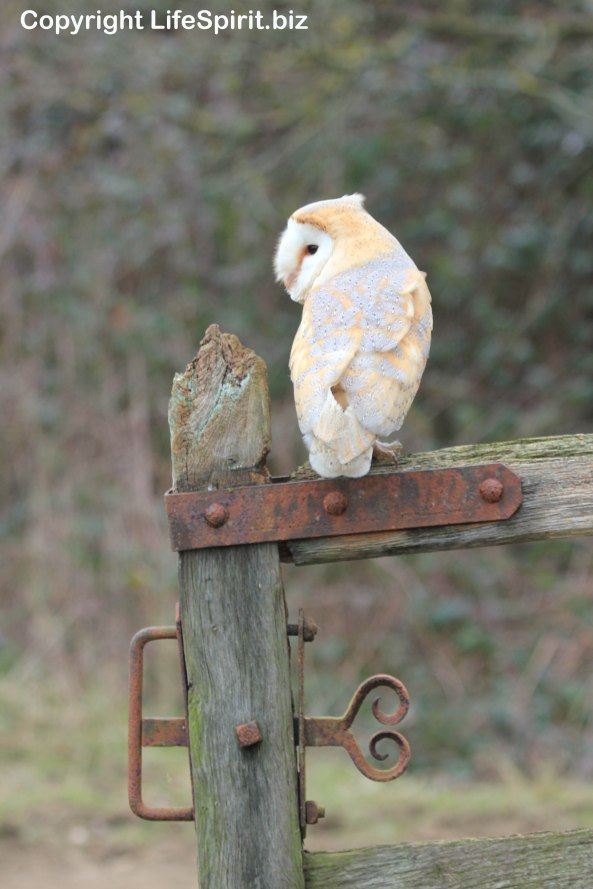 Barn Owl, Life Spirit, Mark Conway, Wildlife Photography