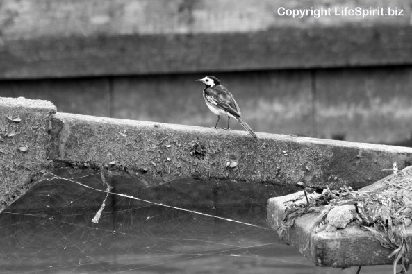 Pied Wagtail, Spider's Web, Mark Conway, Black and White, Life Spirit, Wildlife Photography, Nature, Birds