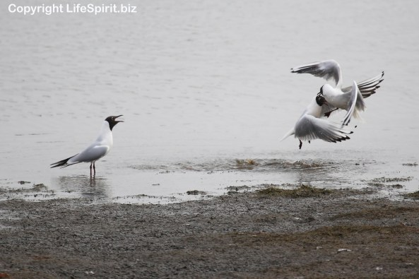 Black-headed Gull, East Yorkshire, Wildlife Photography, Life Spirit, Mark Conway