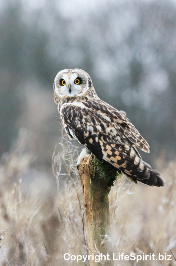 Short=eared Owl, Wildlife Photography, Nature, Life Spirit, Mark Conway