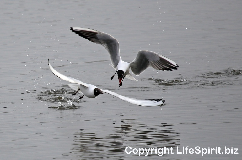 Black-headed Gull, East Yorkshire, Nature, Wildlife Photography, Life Spirit, Mark Conway