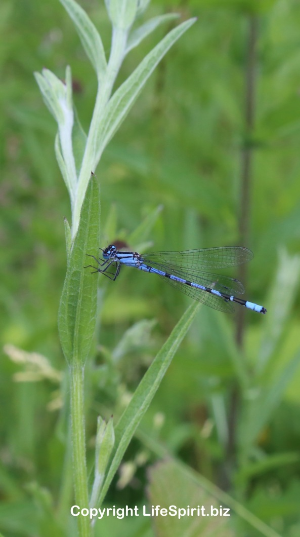 Damselfly, East Yorkshire, Life Spirit, Mark Conway, Photography