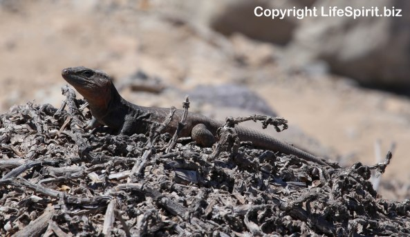 Lizard, Gran Canaria, Wildlife Photography, Nature, Life Spirit, Mark Conway