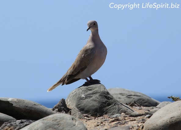 Collard Dove, Gran Canaria, Birds, Nature, Wildlife Photography, Life Spirit, Mark Conway