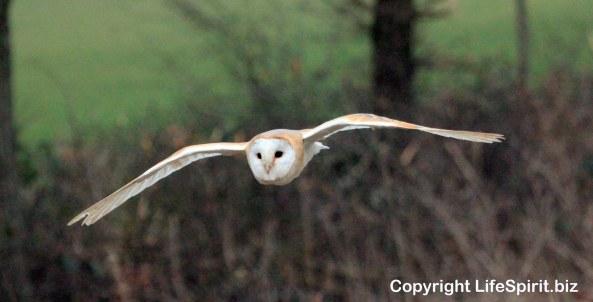 Barn Owl, Surrey, Wildlife Photography, Bird of Prey, Birds, Nature, mark Conway, Life Spirit