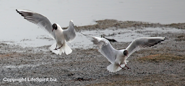 Black-headed Gull, Wildlife Photography, Life Spirit, Mark Conway